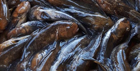 Uusia makuja ja lisäansioita mustatäplätokosta – Loppuraportti
